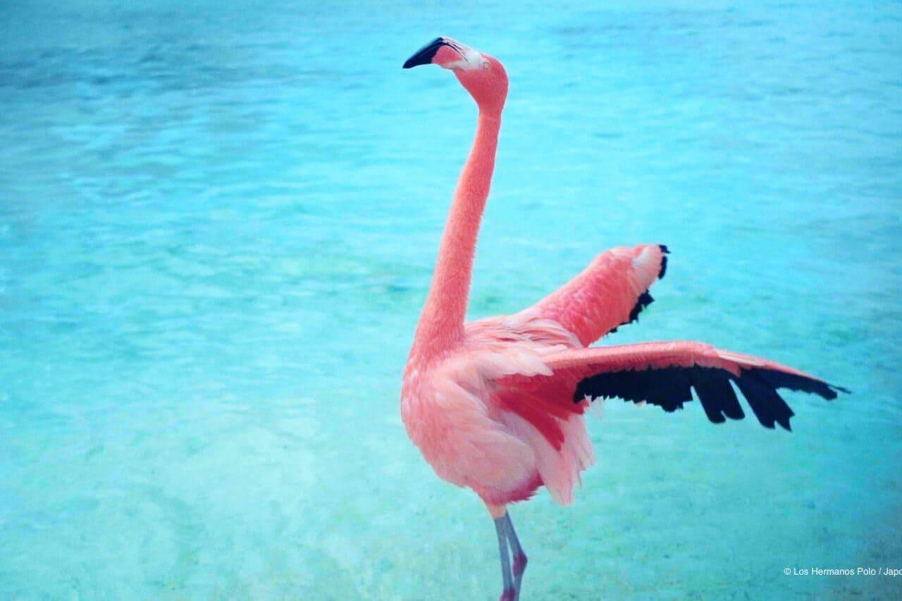 El fenómeno del icónico flamenco rosa